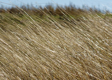 Dry Grass As A Texture