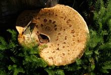 Fungus Polyporus Squamosus