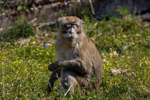 Photo  macaque monkey