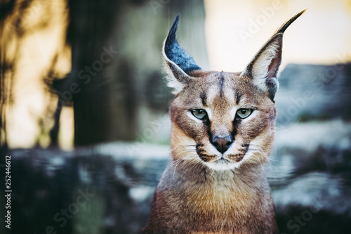 Photo Stands Lynx Portrait d'un caracal