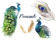 Peacock Feathers Watercolor Graphics. Bright Blue Exotic Birds On Transparent Background