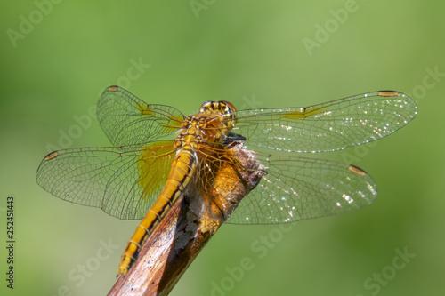 Fotografie, Obraz  Yellow-winged darter (Sympetrum flaveolum)  sitting on a stick