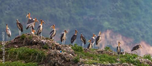 Photo Greater Adjutant  Stork