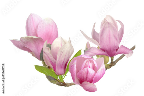 Garden Poster Magnolia pink magnolia