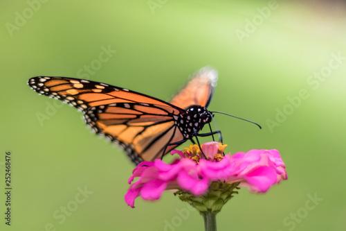 Monarch Butterfly, Danaus plexippuson, on pink zinnia flower, selective focus