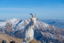 Goats In The Mountainous And Kashmir