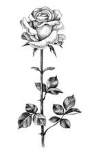 Hand Drawn Rose Bud On High Stem