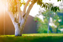 Whitewashed Bark Of Tree Growing In Sunny Orchard Garden On Blurred Green Copy Space Background.