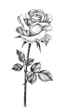 Hand Drawn Rose With Leaves