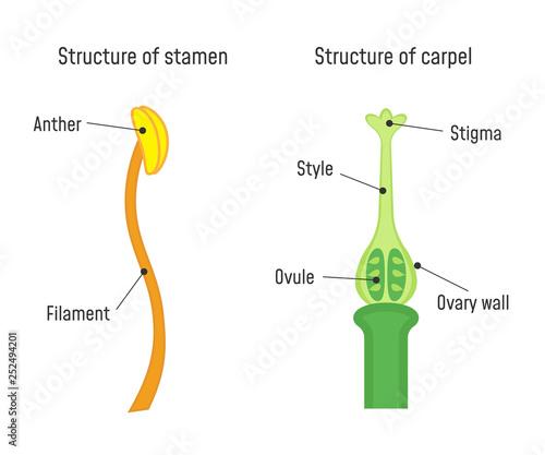 Stampa su Tela Structure of Stamen and Carpel