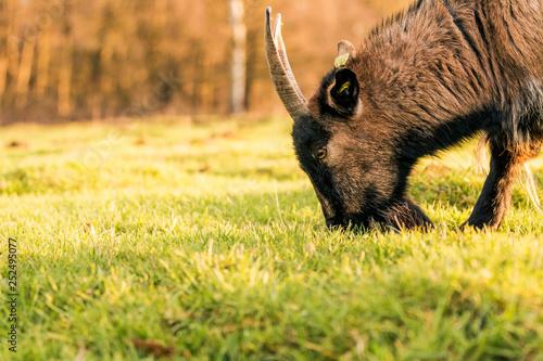 Fotografie, Obraz  Ziege frisst Gras