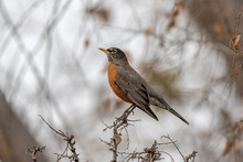 American Robin Perched On Bran...