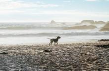Dog Running Along The Beach On...