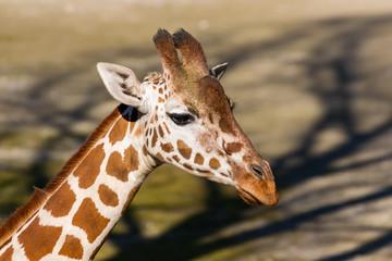Portret jedzenia żyrafa