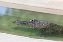 Alligator Submerged In Water