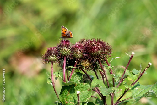 Obraz Burr plants in single bunch with colorful butterfly with orange wings and black spots surrounded with green leaves in local garden on warm sunny day - fototapety do salonu