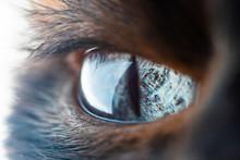 Beautiful Eye Of Domestic Siamese Cat Macro. Close Up Of A Blue Cat's Eye