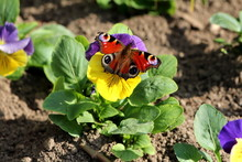 Colorful Butterfly With Fully Open Wings On Top Of Bicolor Wild Pansy Or Viola Tricolor Or Johnny Jump Up Or Heartsease Or Hearts Ease Or Hearts Delight Or Tickle My Fancy Or Jack Jump Up And Kiss Me