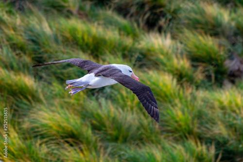 Valokuva  Black-browed albatross in flight over the Falkland Islands