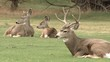 A Family Of White Tailed Mule Deer