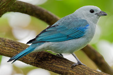 Blue-grey Tanager - Tangara Episcopus Medium-sized South American Songbird Of The Tanager Family, Thraupidae