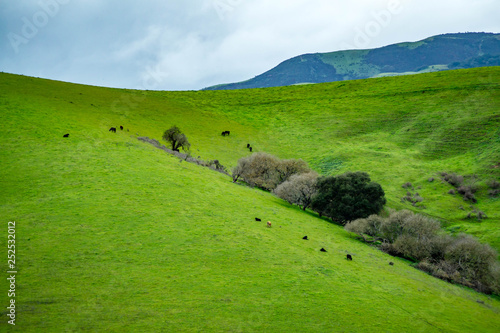 Fotografie, Obraz  Rural farmland in California with livestock grazing on the hills