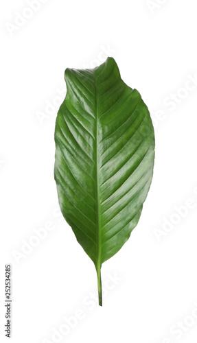 Photo Leaf of tropical spathiphyllum plant isolated on white