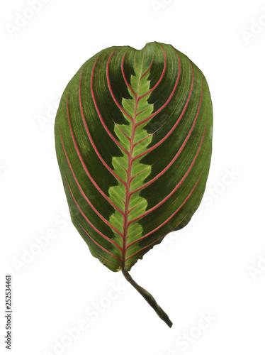 Leaf of tropical maranta plant on white background Wallpaper Mural
