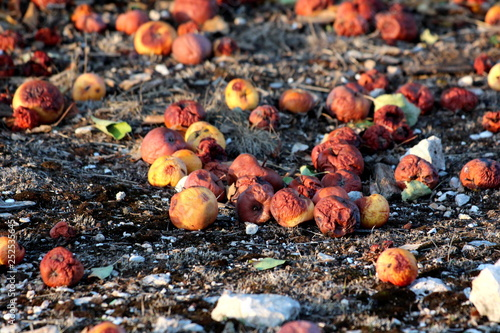 Fotografía  Many partially and fully rotten yellow apples fallen from near tree on ground an