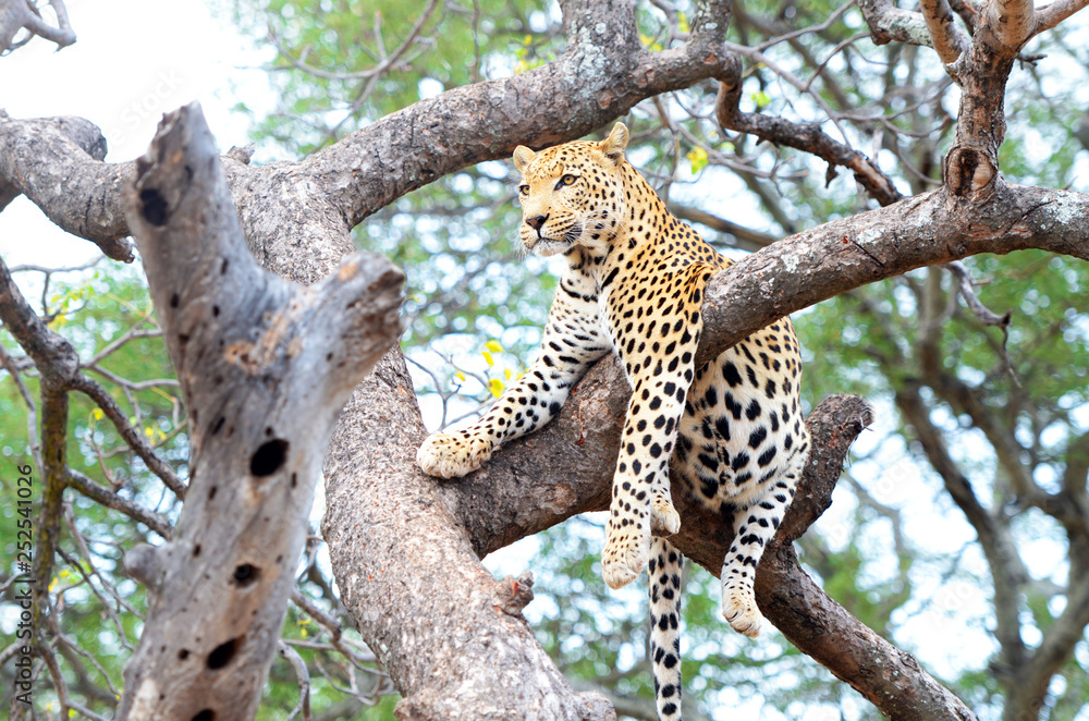 Fototapeta African Leopard, Panthera Pardus, resting in a tree. Big cat in Kruger National Park, South Africa