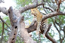 African Leopard, Panthera Pard...