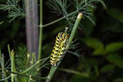 Fotografía  Close up photo of a Black Swallowtail Caterpillar feeding on a dill plant
