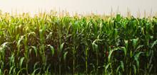 Corn Field In Morning Light