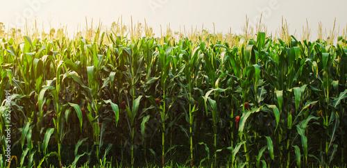Valokuva corn field in morning light