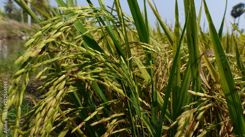 Rice grains ready to be harvested in the summer