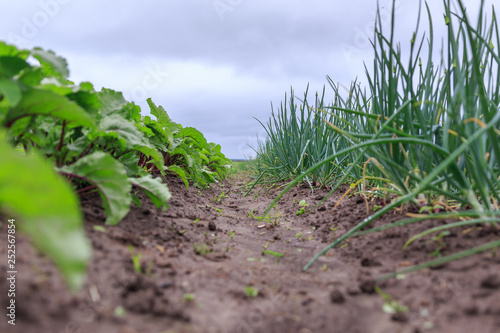 Fotografija A close up of almost ripe organical bright green garden beds of beet and onions