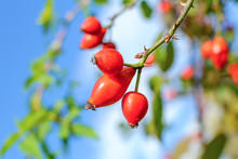 Branch Of Rose-hips Or Wild Ro...