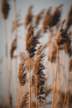 Close Up Of Reeds Grass With S...