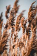 Close Up Of Reeds Grass With Sky And Green Grass Background