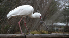 A Spoonbill On A Trunk.