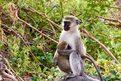 Fotografie, Obraz  Female Cercopithecus with a baby in a tree in the Tsavo National Park in Kenya,