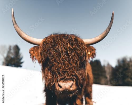 Fototapeta bull, cow obraz