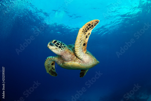 In de dag Schildpad Amazing underwater world - Green turtle - Chelonia mydas. Apo Island, the Philippines.