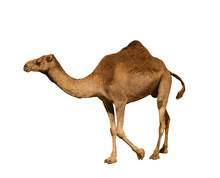 Dromedary On White Background ...