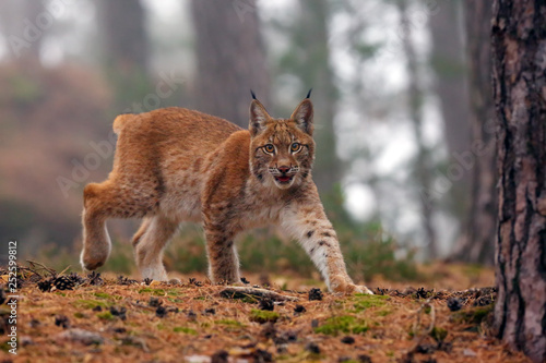 Fotografia The Eurasian lynx (Lynx lynx), also known as the European or Siberian lynx in autumn colors in the pine forest