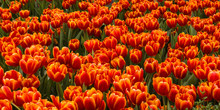 Field Of Bright Red Tulips With Yellow Edges In A Spring Garden