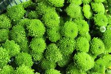 Green Chrysanthemum (santini)....