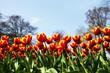 canvas print picture - Tulpen mit blauem Himmel, Textraum, copy space