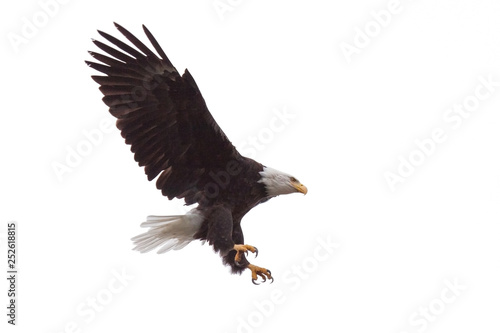 Photo  Eagle's Talons and Wings Wide Open