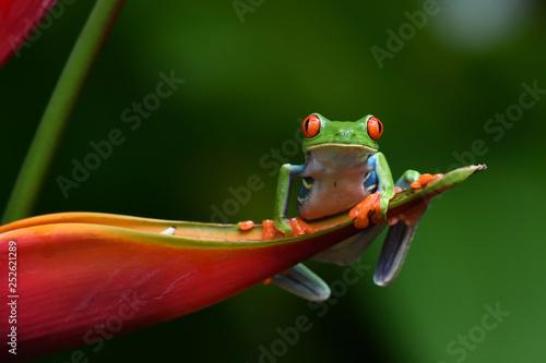 Foto op Canvas Kikker Red-Eyed Leaf Frog on flower